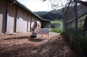 Mr. G the goat, was depressed after being rescued from a hoarding situation and separated from Jellybean, the burro.