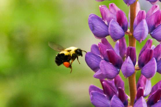 Vital pollinators on the decline