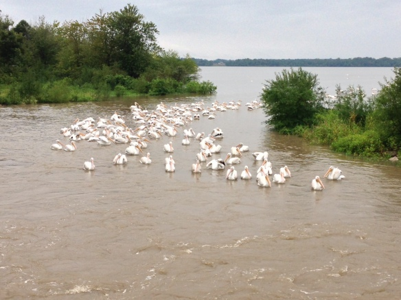Pelicans at lower Swan (2)